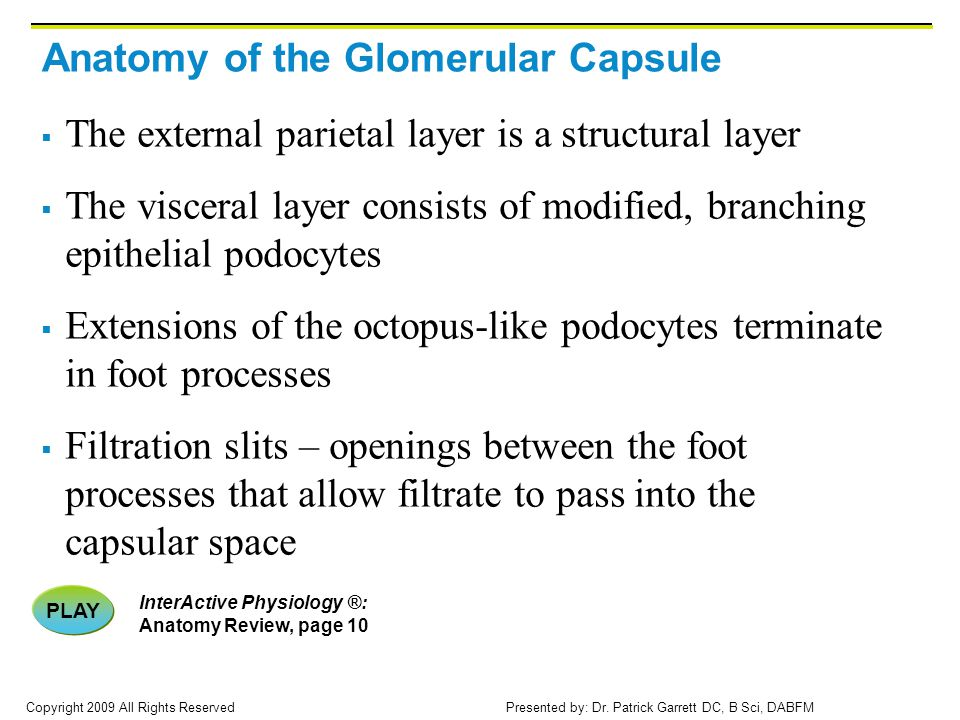 Anatomy of the Glomerular Capsule