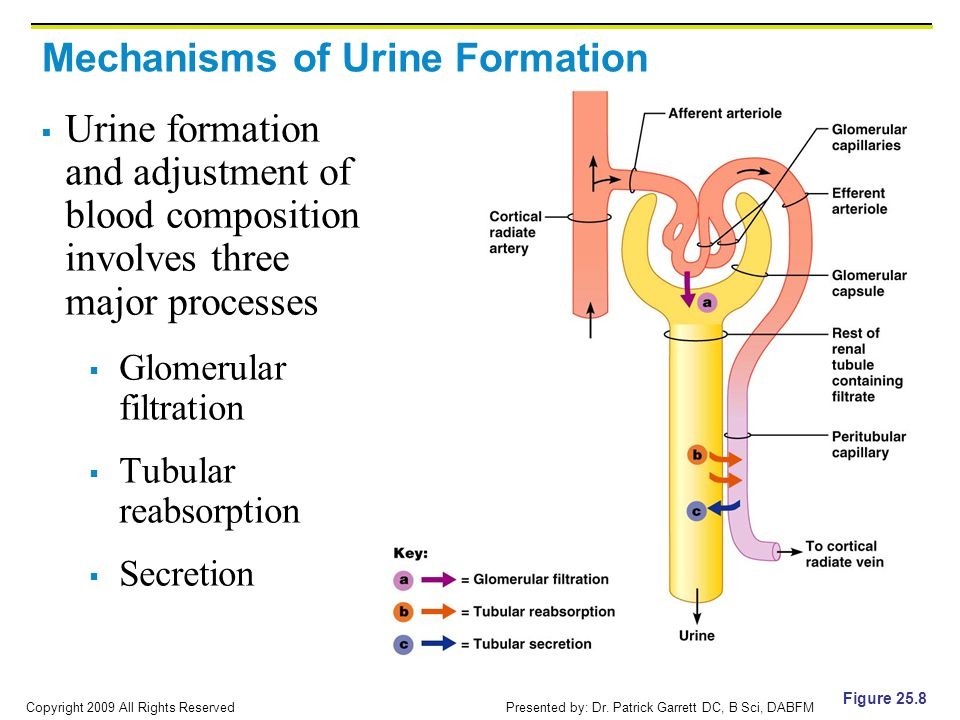 Mechanisms of Urine Formation