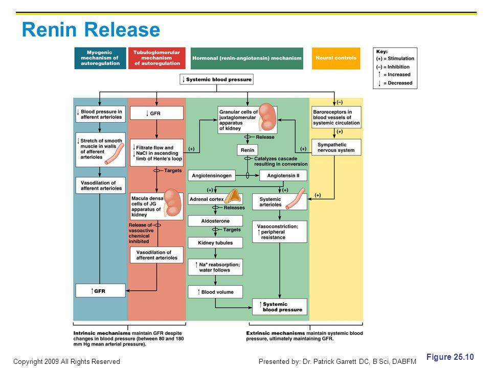 Renin Release Figure 25.10