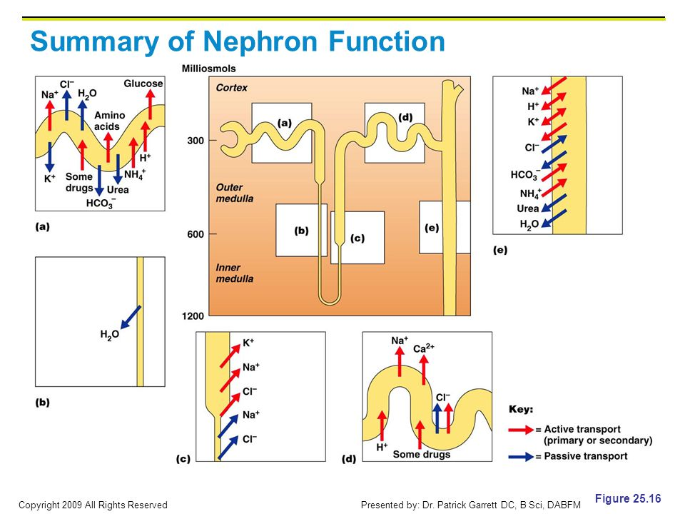 Summary of Nephron Function
