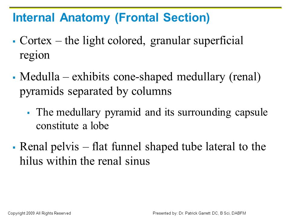 Internal Anatomy (Frontal Section)