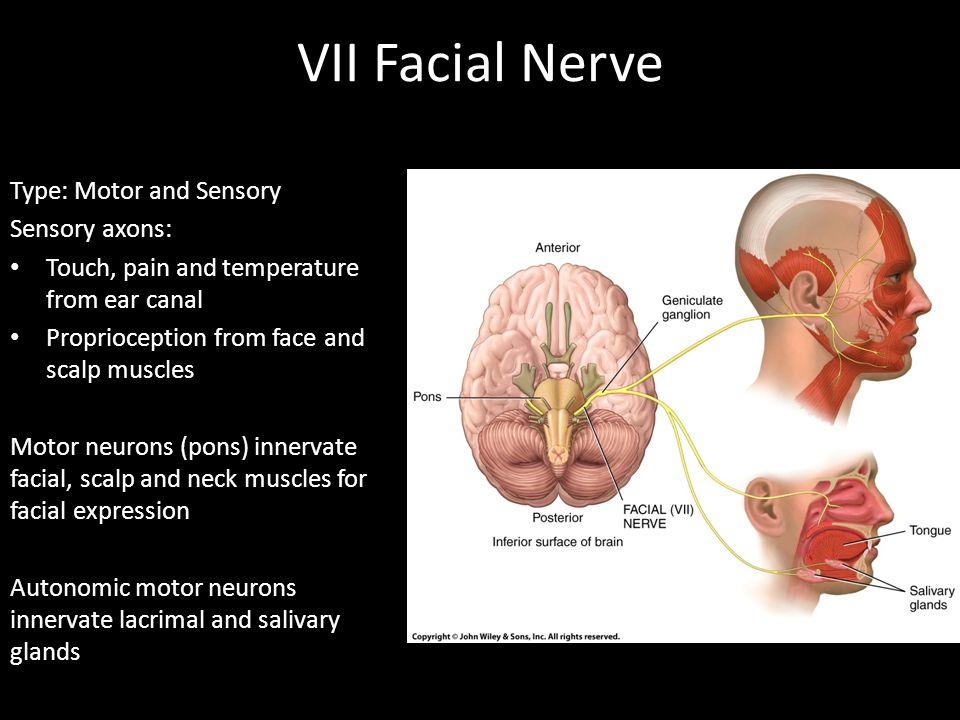 VII Facial Nerve Type: Motor and Sensory Sensory axons: