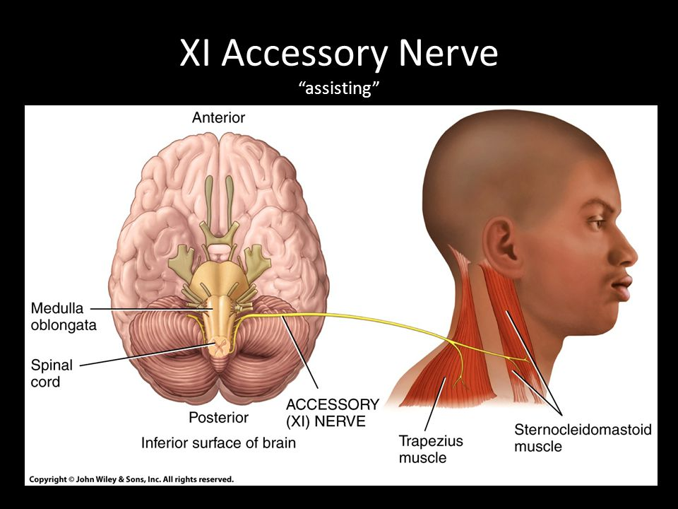 XI Accessory Nerve assisting