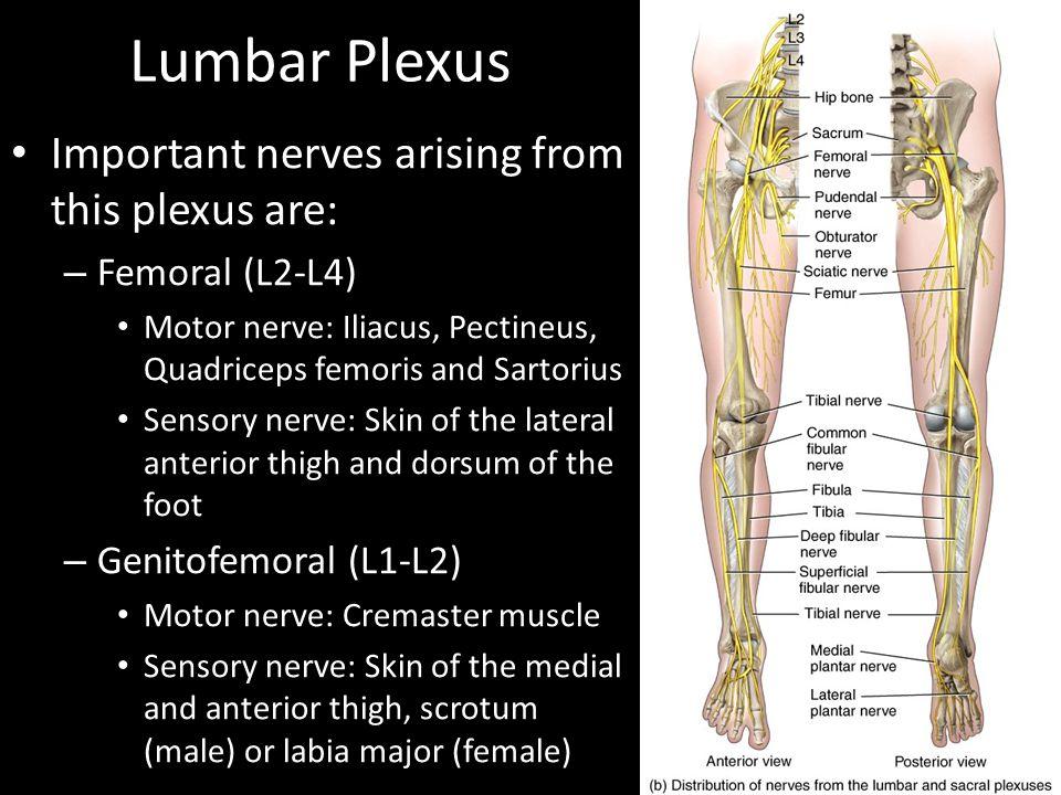 Lumbar Plexus Important nerves arising from this plexus are:
