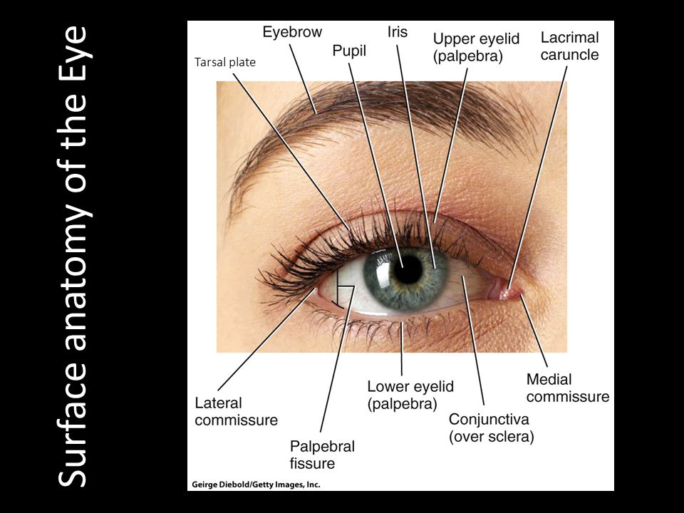 Surface anatomy of the Eye
