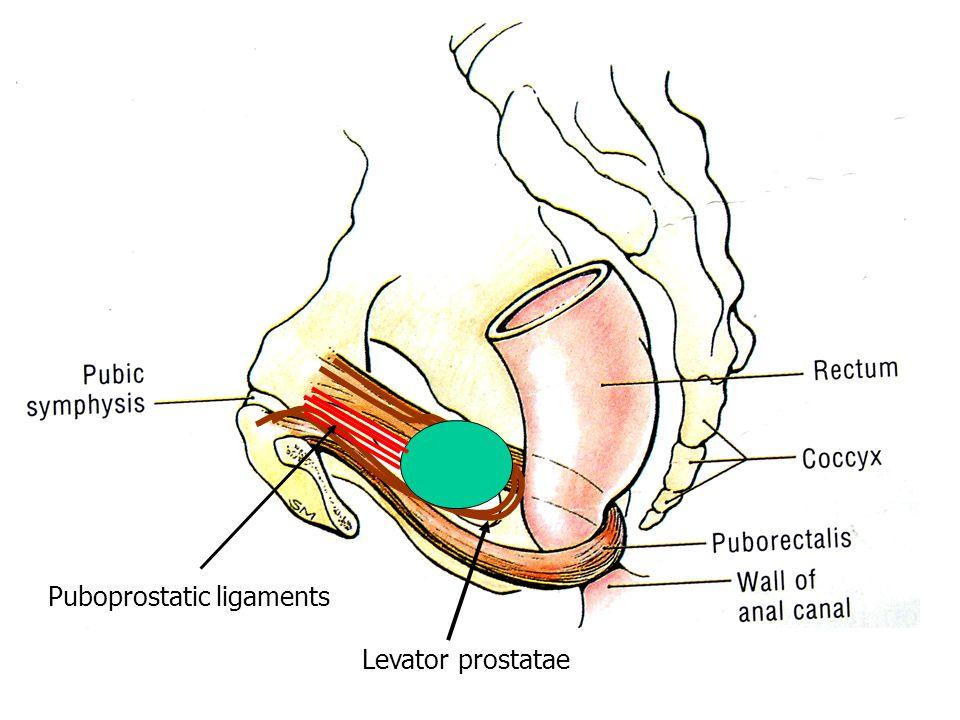 Levator prostatae Puboprostatic ligaments