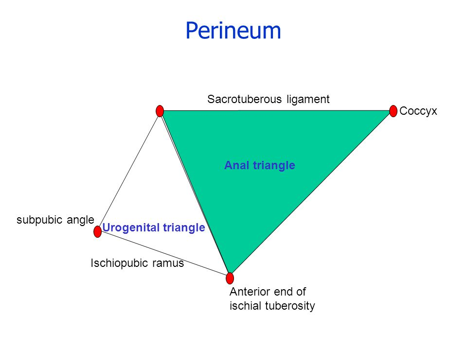 Perineum Sacrotuberous ligament Coccyx Anal triangle subpubic angle
