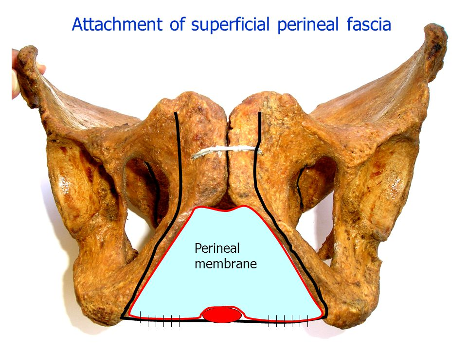 Attachment of superficial perineal fascia