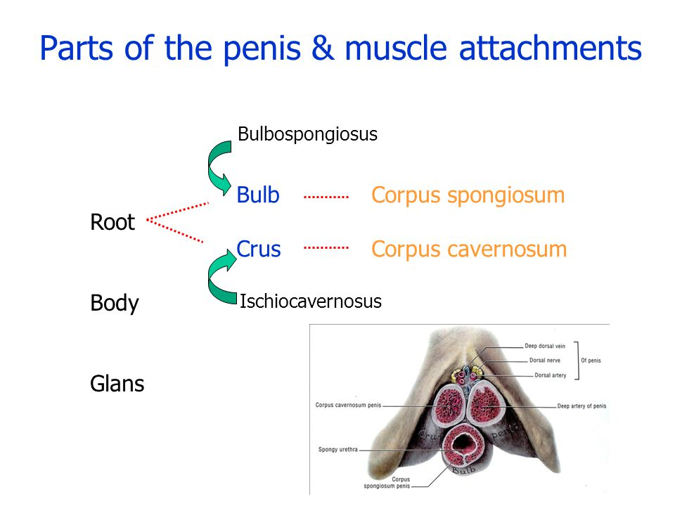 Parts of the penis & muscle attachments