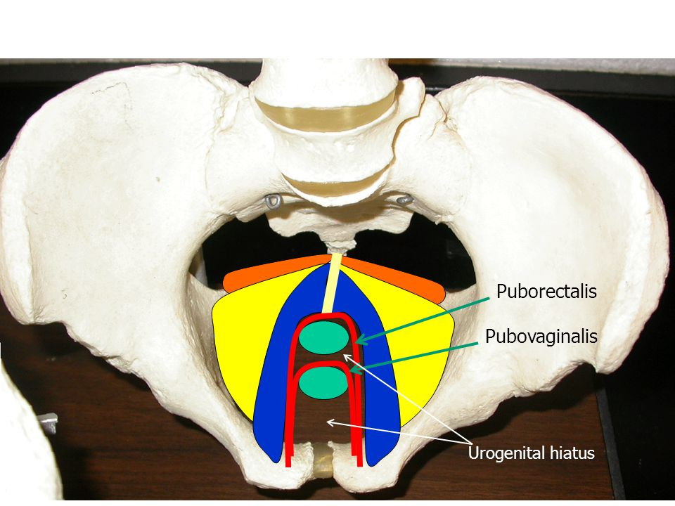 Puborectalis Pubovaginalis Urogenital hiatus