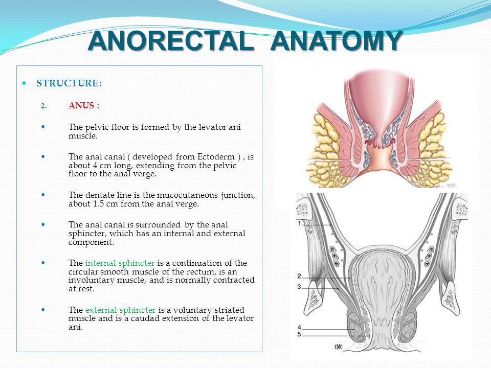 ANORECTAL ANATOMY STRUCTURE : ANUS :