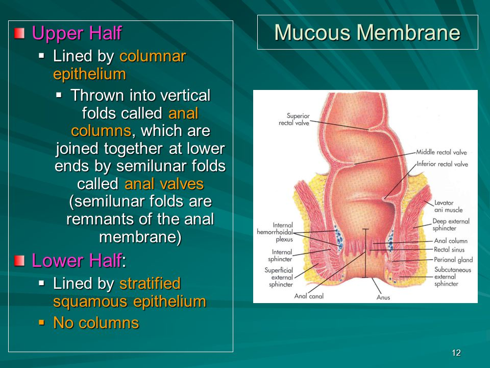 Mucous Membrane Upper Half Lower Half: Lined by columnar epithelium