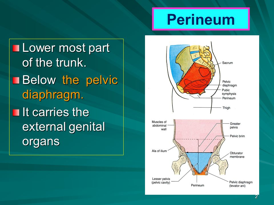 Perineum Lower most part of the trunk. Below the pelvic diaphragm.
