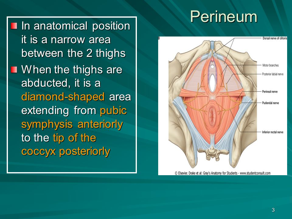 Perineum In anatomical position it is a narrow area between the 2 thighs.