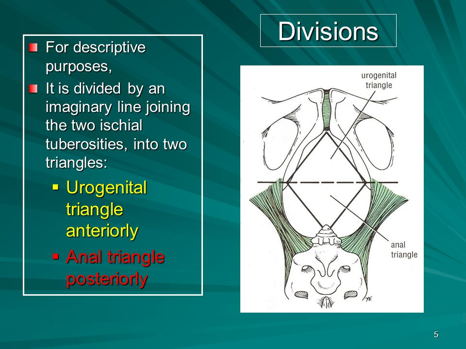 Divisions Urogenital triangle anteriorly Anal triangle posteriorly