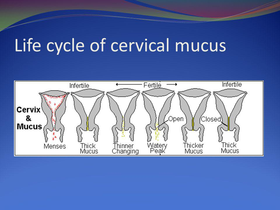 Life cycle of cervical mucus