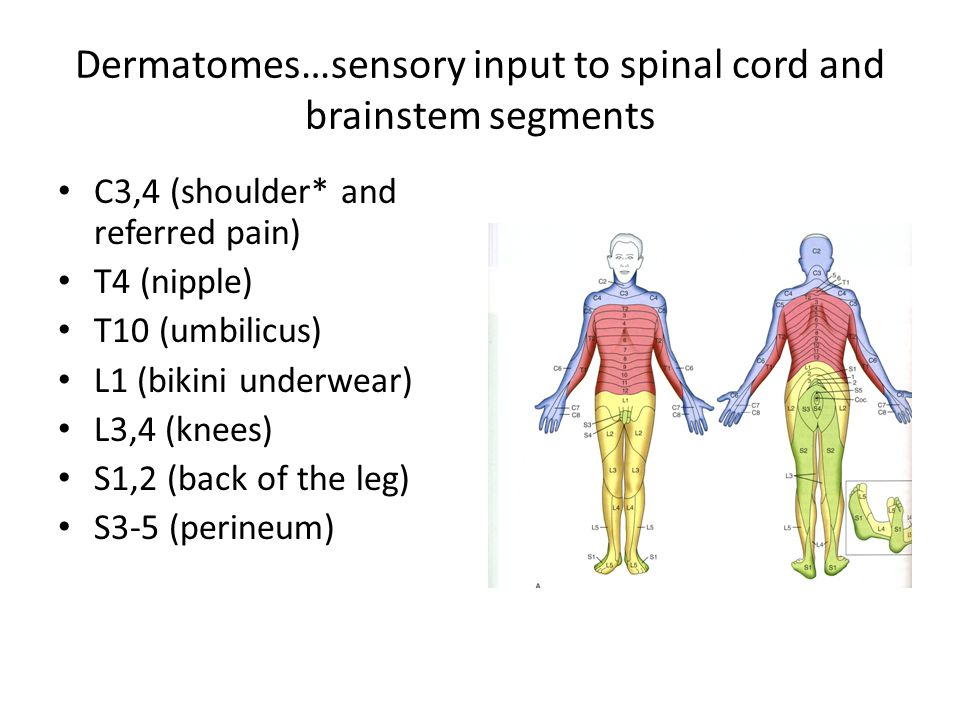 Dermatomes…sensory input to spinal cord and brainstem segments