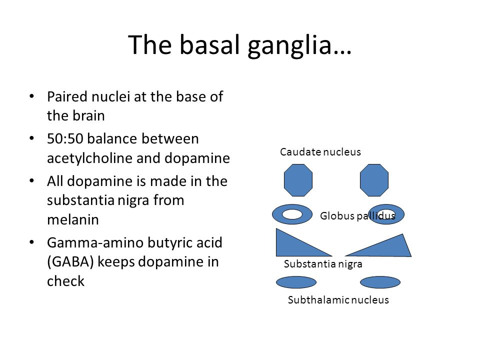 The basal ganglia… Paired nuclei at the base of the brain