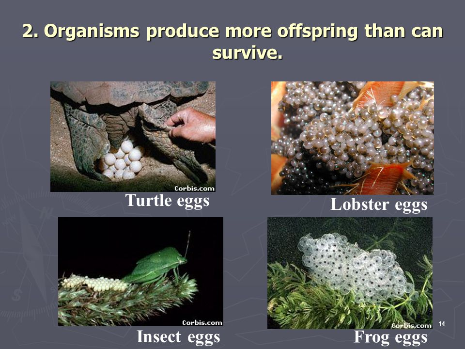 2. Organisms produce more offspring than can survive.