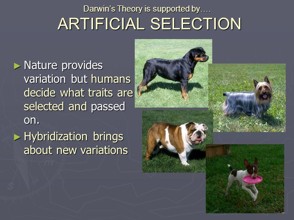 Darwin's Theory is supported by…. ARTIFICIAL SELECTION