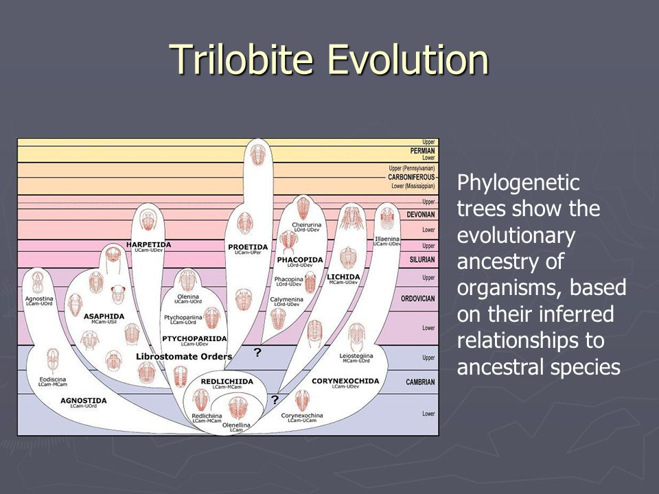 Trilobite Evolution Phylogenetic trees show the evolutionary ancestry of organisms, based on their inferred relationships to ancestral species.