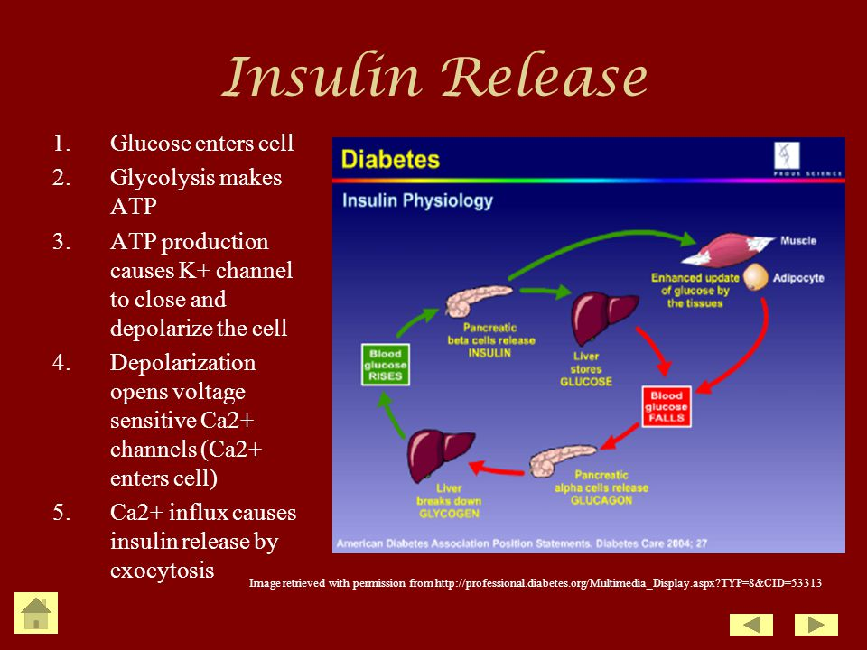 Insulin Release Glucose enters cell Glycolysis makes ATP