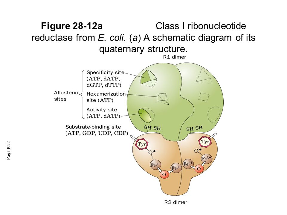 Figure 28-12a. Class I ribonucleotide reductase from E. coli