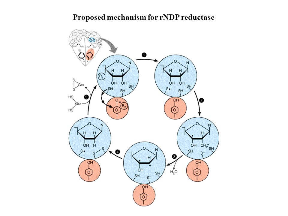 Proposed mechanism for rNDP reductase