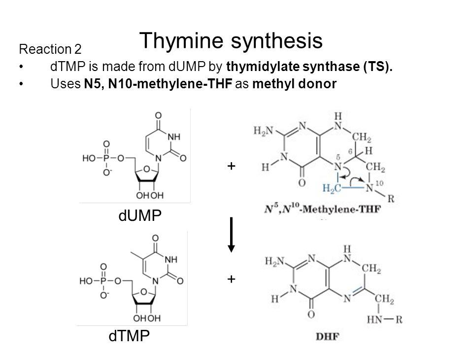 Thymine synthesis + dUMP + dTMP Reaction 2
