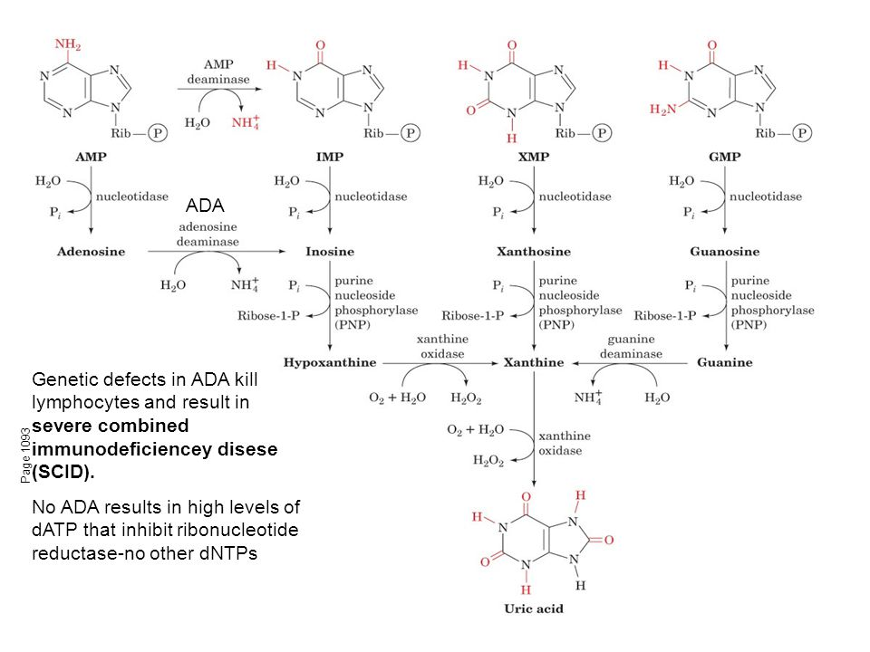 Figure 28-23 Major pathways of purine catabolism in animals.
