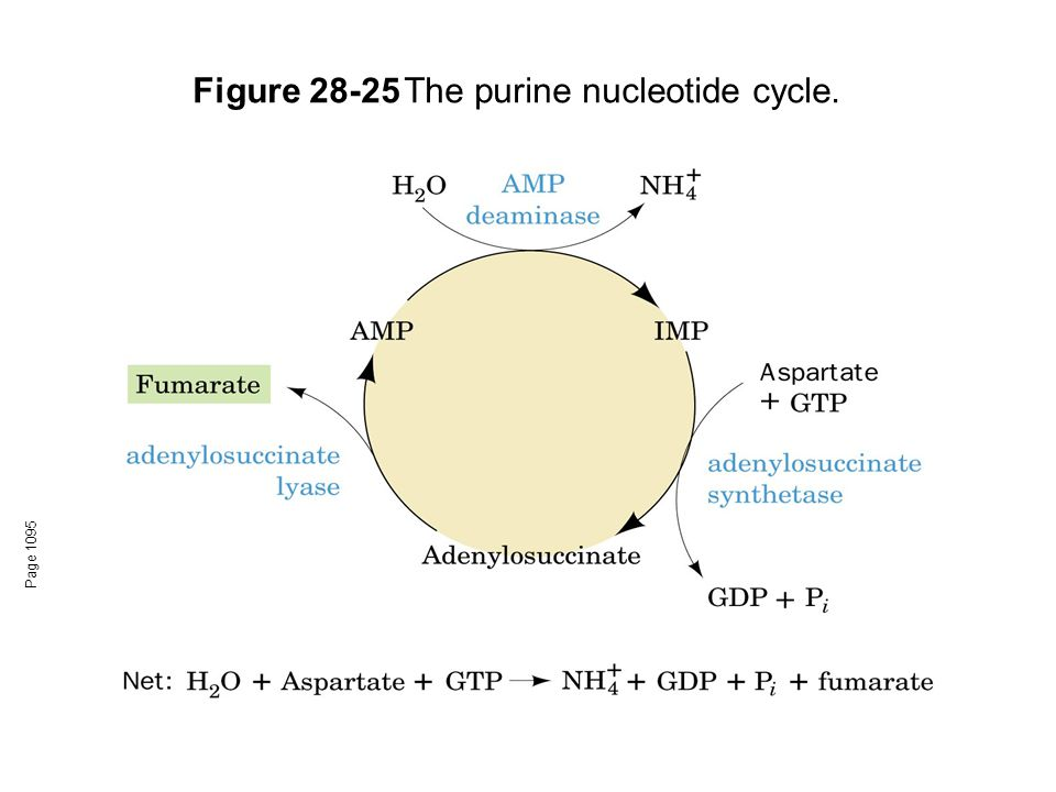 Figure 28-25 The purine nucleotide cycle.