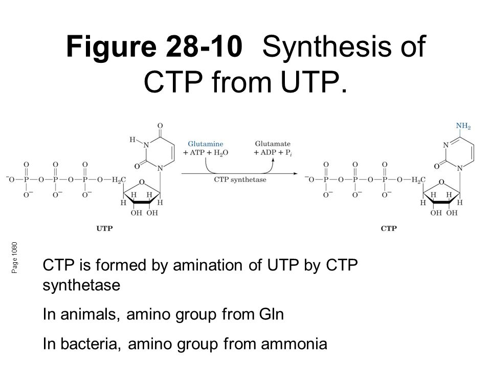 Figure 28-10 Synthesis of CTP from UTP.