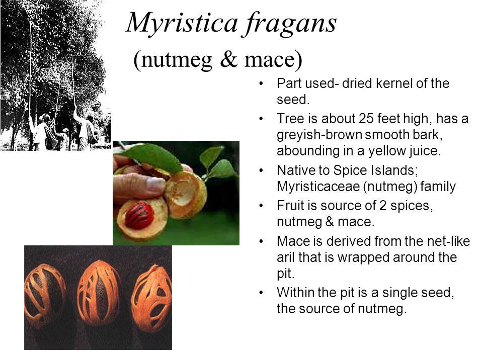 Myristica fragans (nutmeg & mace)