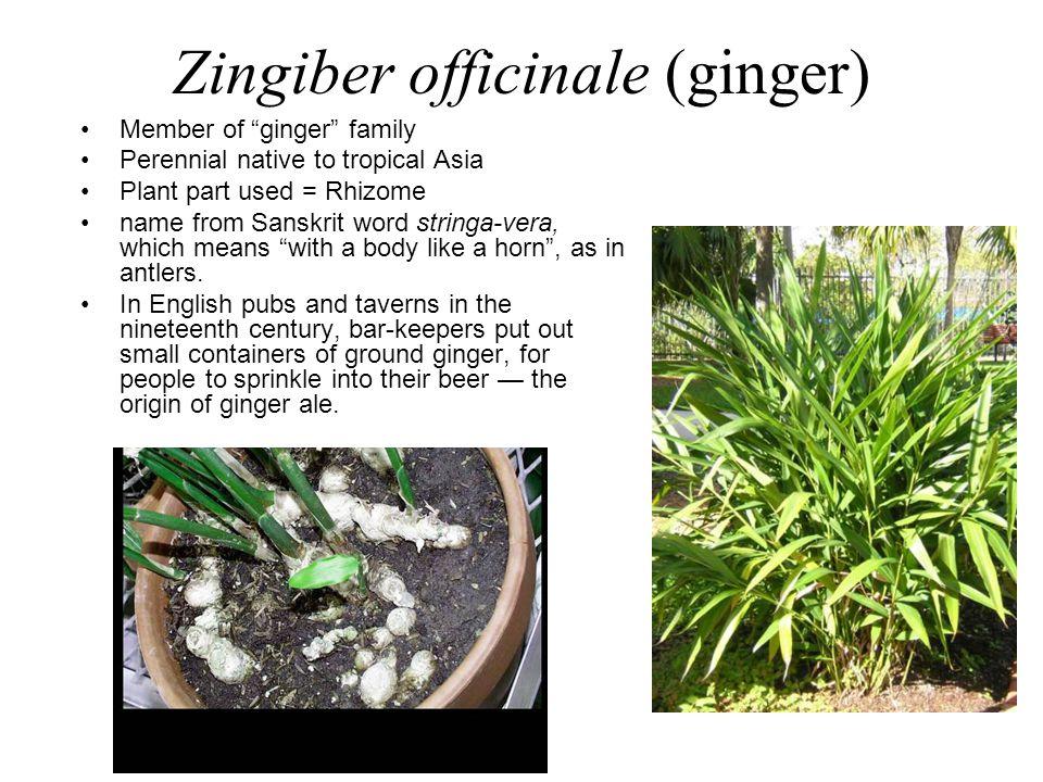 Zingiber officinale (ginger)