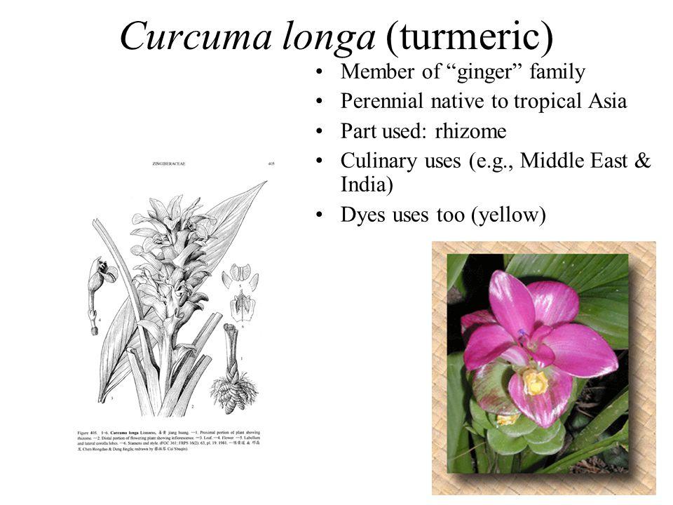 Curcuma longa (turmeric)