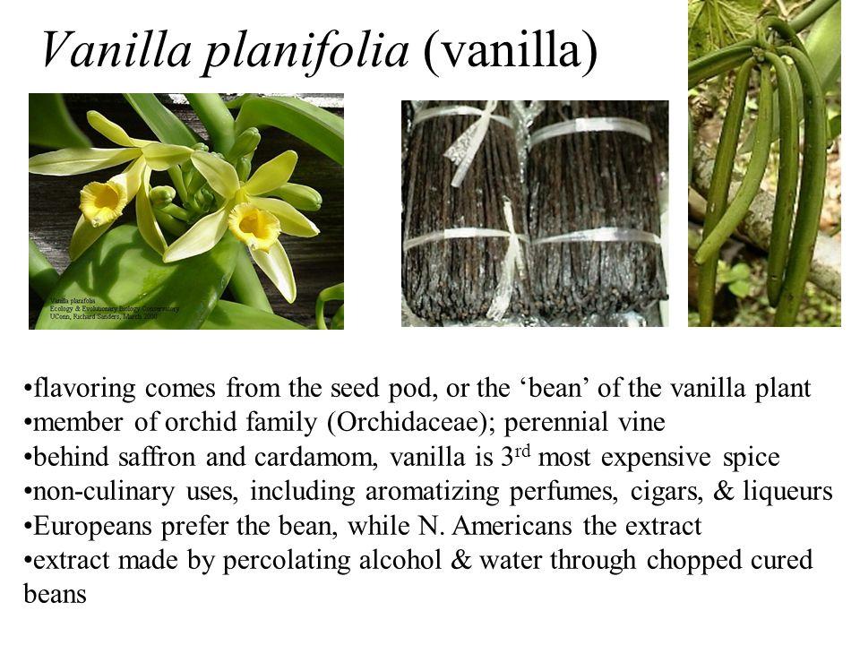 Vanilla planifolia (vanilla)
