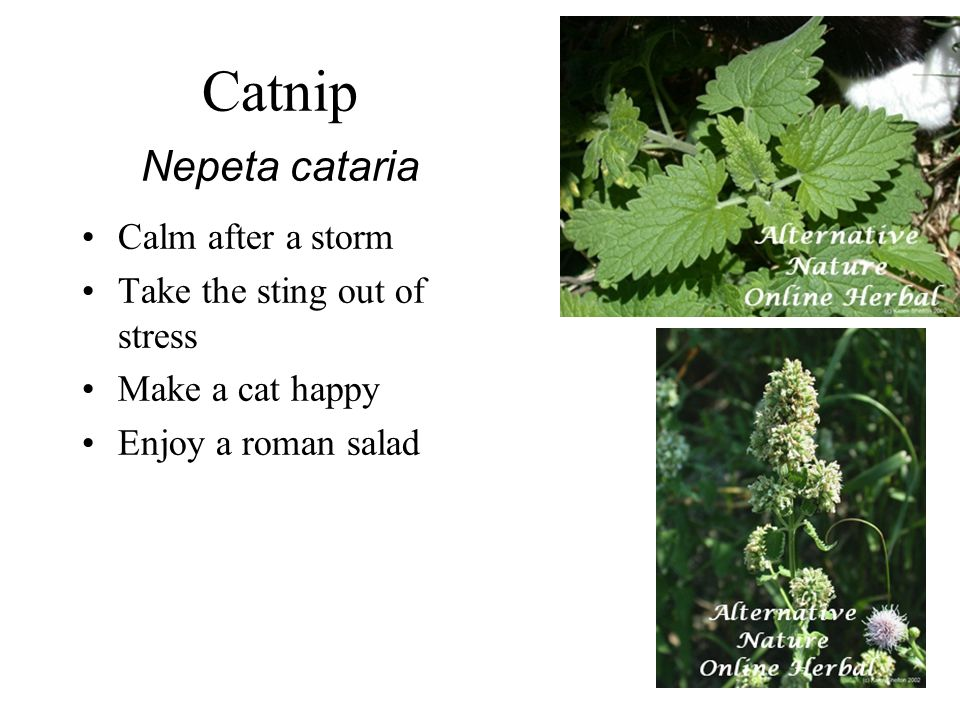 Catnip Nepeta cataria Calm after a storm Take the sting out of stress