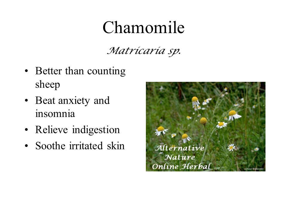 Chamomile Matricaria sp.