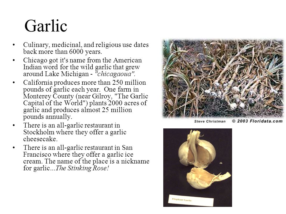 Garlic Culinary, medicinal, and religious use dates back more than 6000 years.
