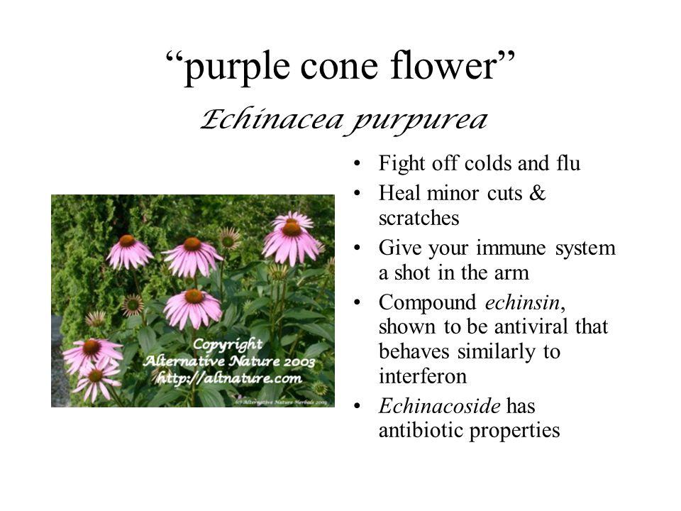 purple cone flower Echinacea purpurea