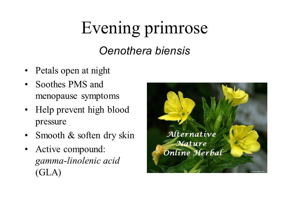 Evening primrose Oenothera biensis