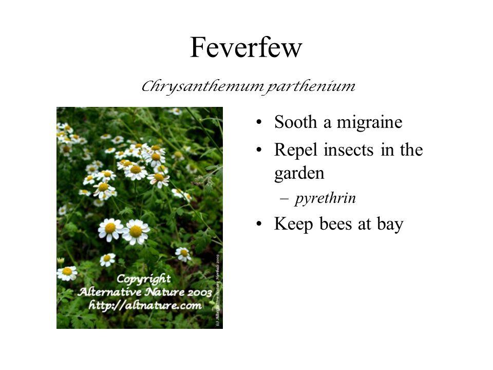 Feverfew Chrysanthemum parthenium