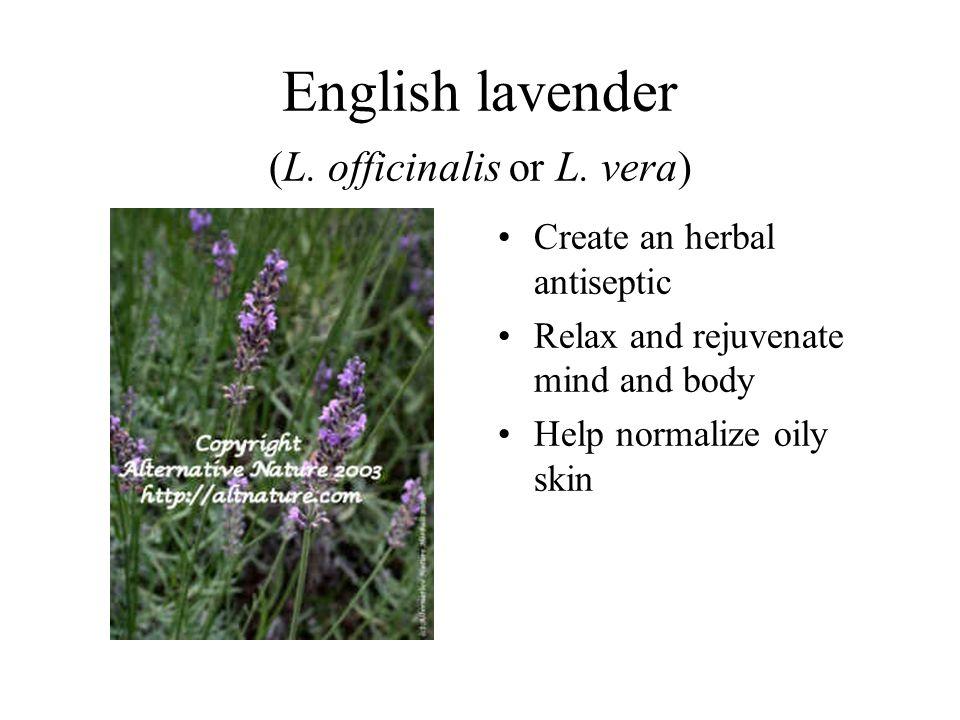 English lavender (L. officinalis or L. vera)