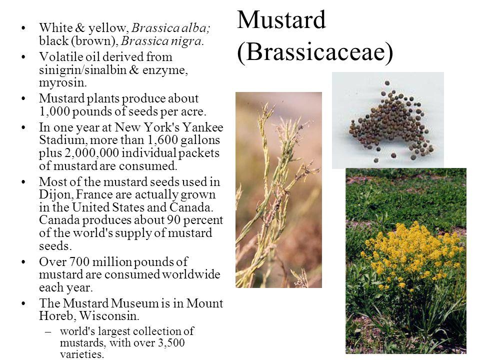 Mustard (Brassicaceae)