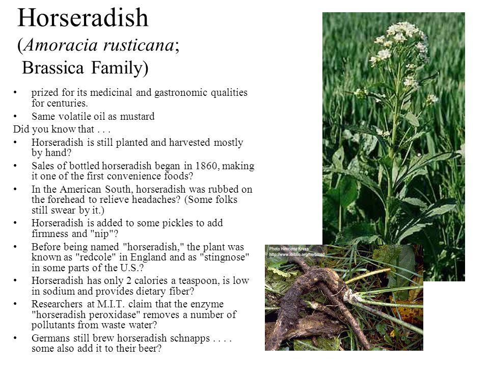 Horseradish (Amoracia rusticana; Brassica Family)