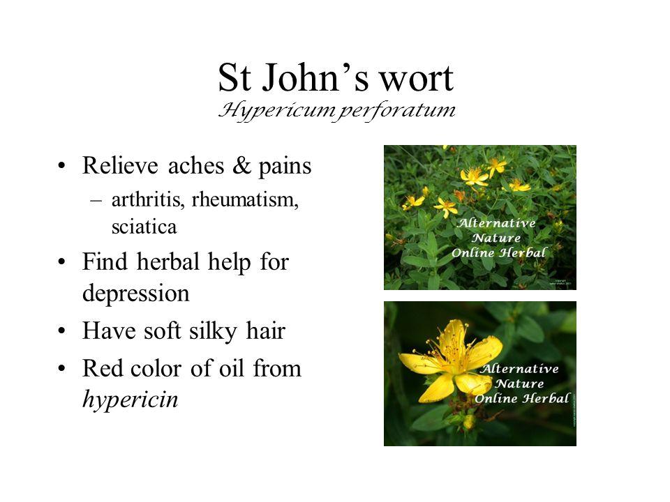 St John's wort Hypericum perforatum