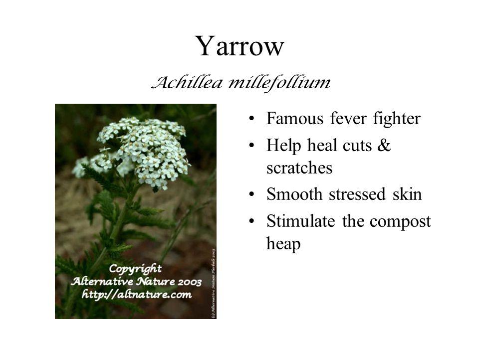 Yarrow Achillea millefollium