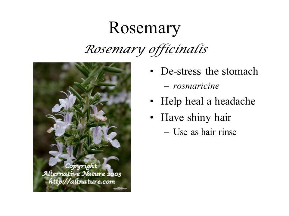 Rosemary Rosemary officinalis
