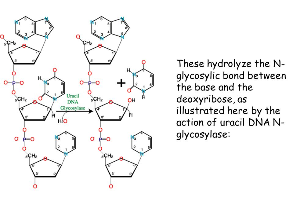 These hydrolyze the N-glycosylic bond between the base and the deoxyribose, as illustrated here by the action of uracil DNA N-glycosylase: