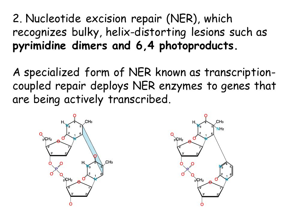 2. Nucleotide excision repair (NER), which recognizes bulky, helix-distorting lesions such as pyrimidine dimers and 6,4 photoproducts.